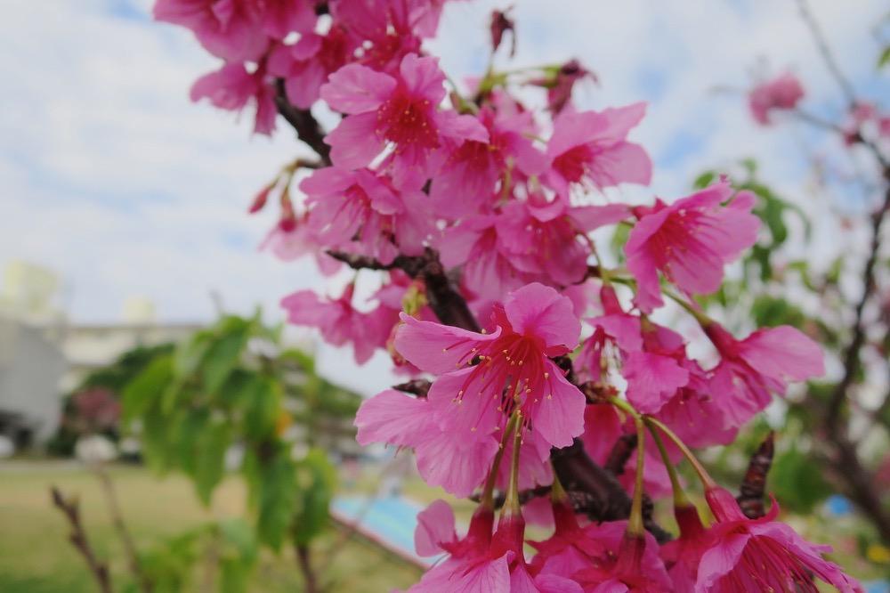 沖縄,緋寒桜,寒緋桜,ヒカンザクラ,カンヒザクラ