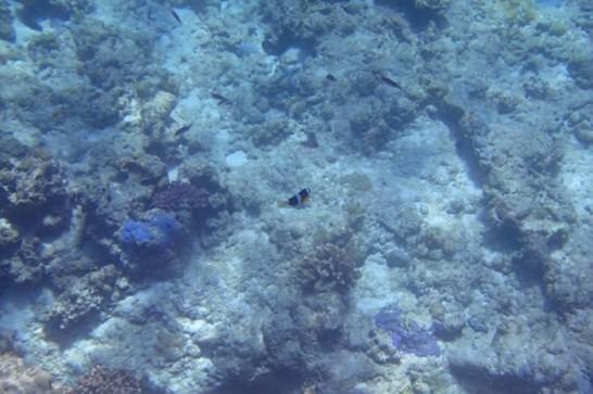 okinawa kerama news snorkeling_084