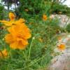 道先に咲くコスモス