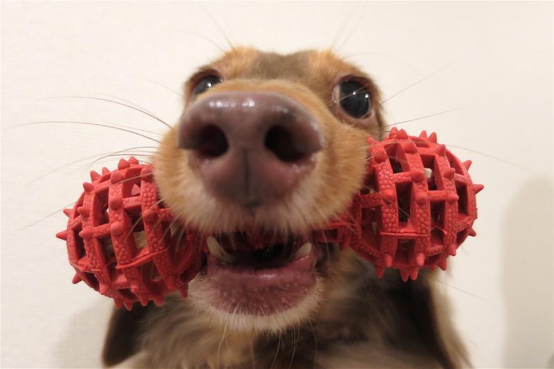 熊本犬が最近気に入っているおもちゃ