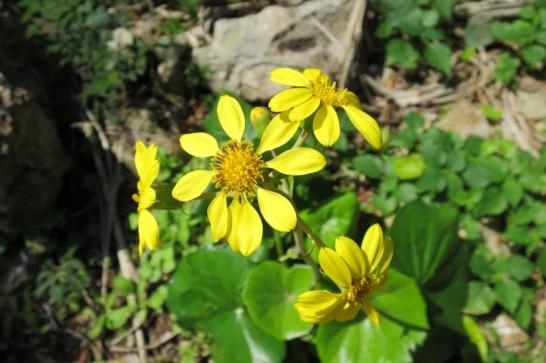 daisekirinzan yanbaru okinawa flower(212)