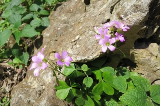 daisekirinzan yanbaru okinawa flower(213)