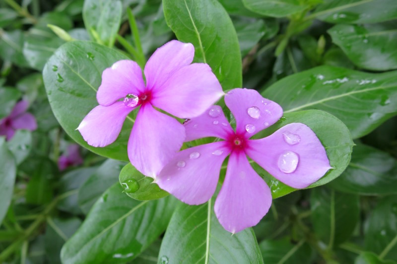 梅雨らしさ溢れる花