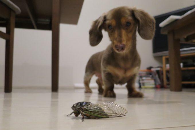 我が家に持ち込まれたセミと、凝視するお犬サマー