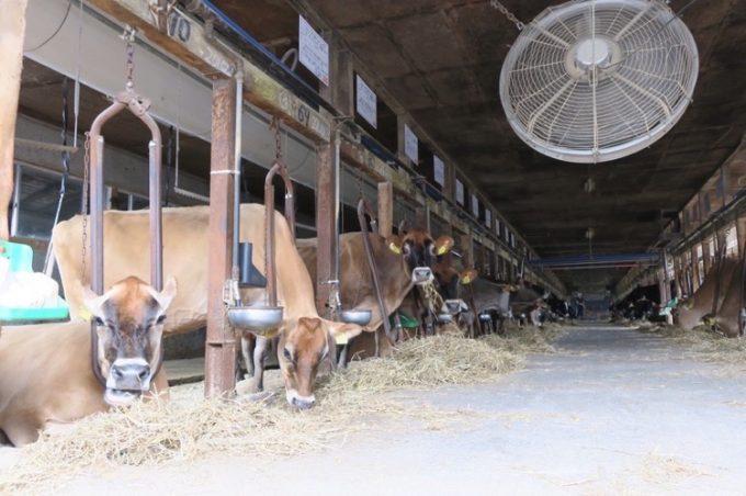 山川牧場搾乳牛舎にいる牛さんたち(その1)