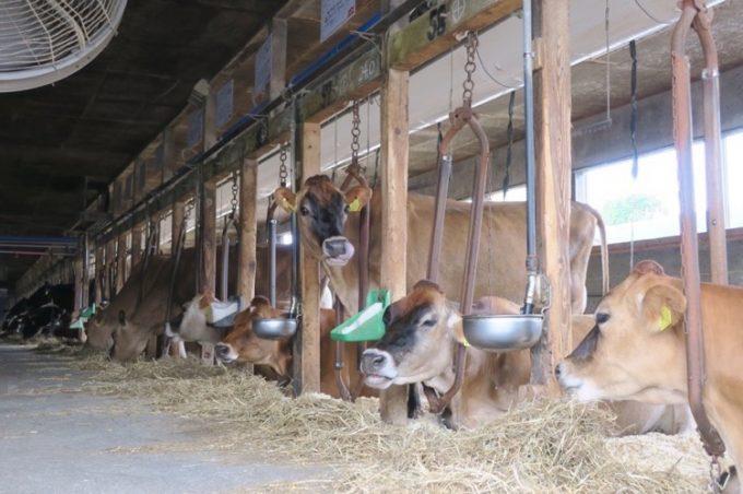 山川牧場搾乳牛舎にいる牛さんたち(その2)