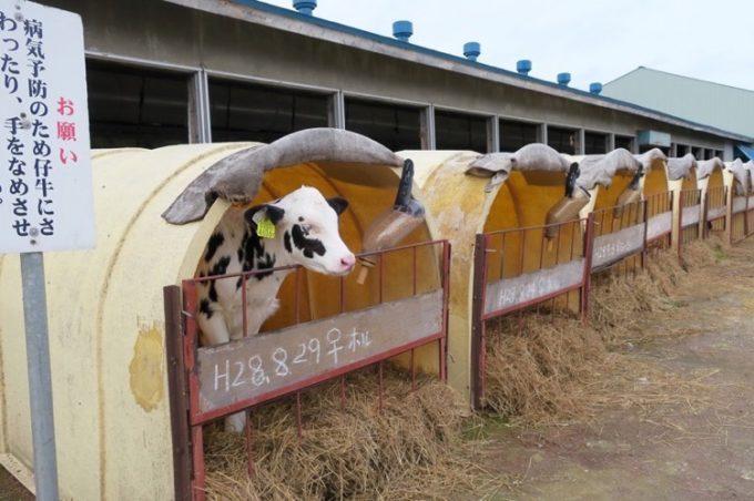 山川牧場搾乳牛舎の横にある、生まれたての仔牛のアパート