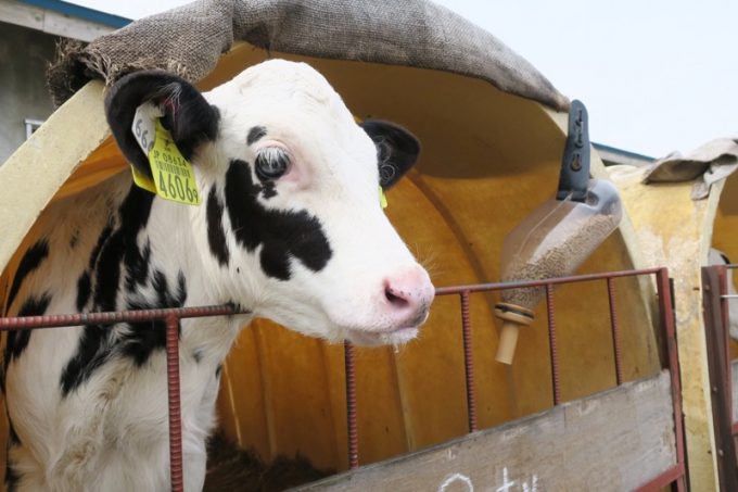 アパートにいた、人懐っこくてかわいい仔牛