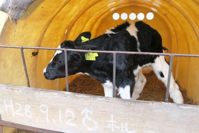 人間と目を合わせられない、コミュ障な仔牛