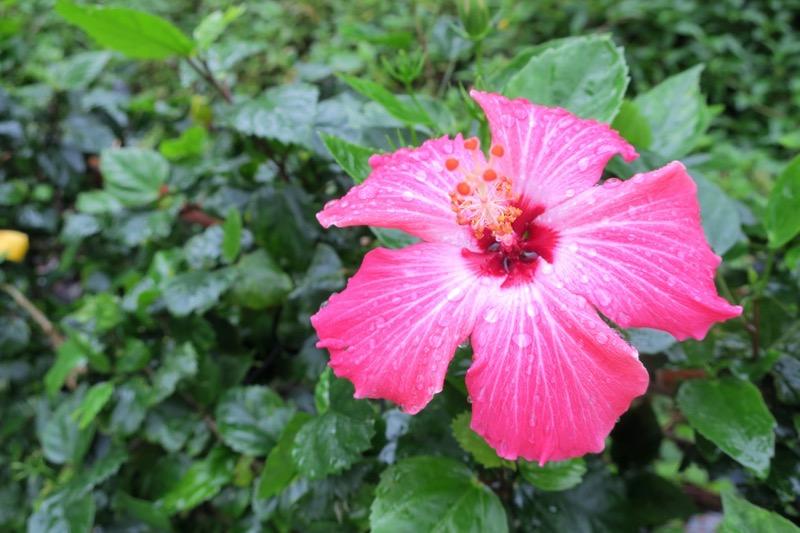 恩納村で見かけた雨上がりのハイビスカス