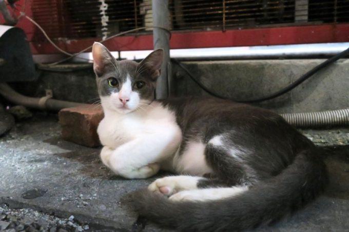 栄町にいた美人猫サマー
