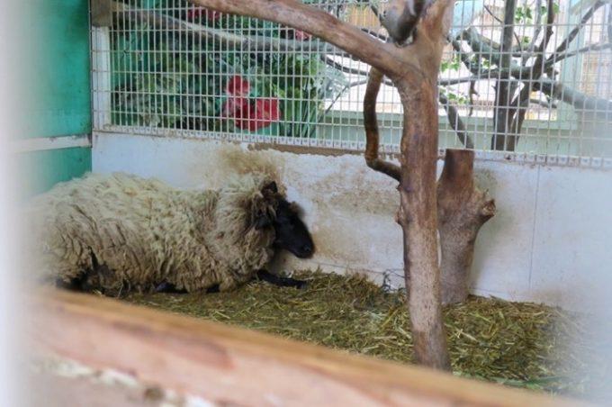 モコモコの羊的には真夏はしんどかろう。