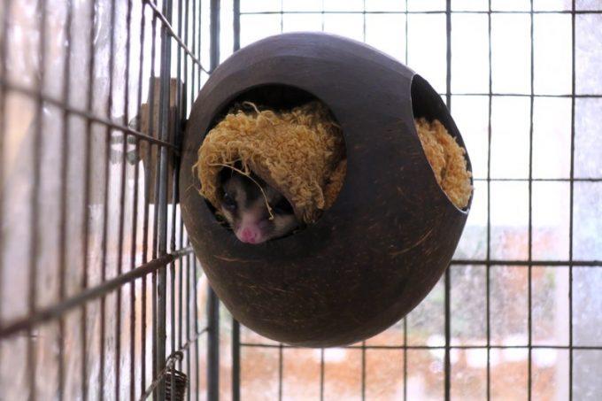 モモンガは巣の中で様子を伺う。