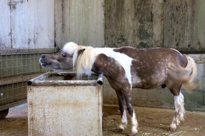 餌場か水飲み場で面白い仕草をする馬。