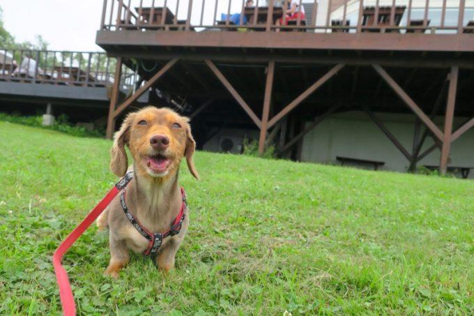 愛犬連れで食べに行ける「ハーベスター八雲」、おすすめです!