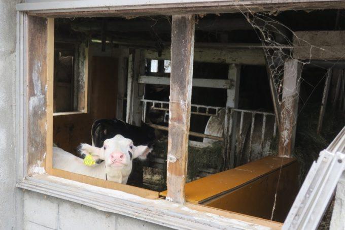 今年生まれた仔牛が3頭ほど。