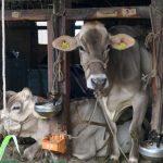 牛舎の中にいる牛さんたち。