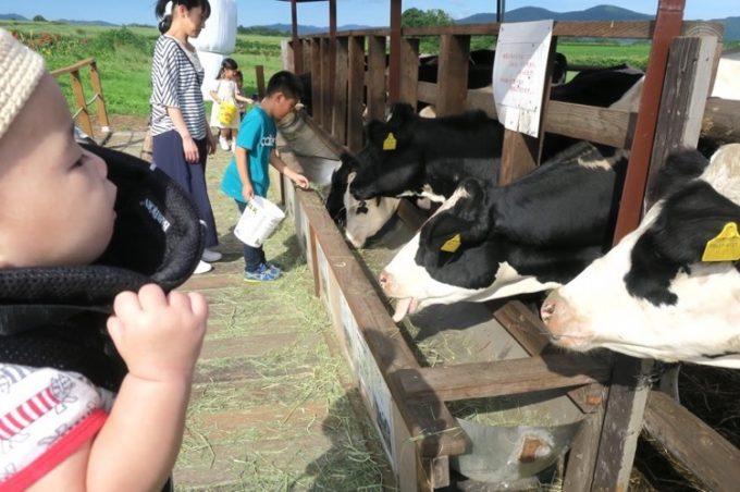 早乙女牧場にいるホルスタイン。目もくれず、餌を食べていた。