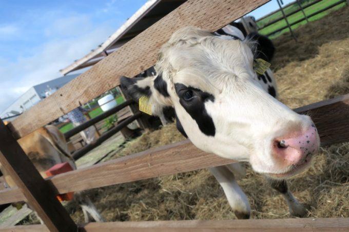 時期的に仔牛も数頭いた。興味津々で柵から顔を出す仔牛。