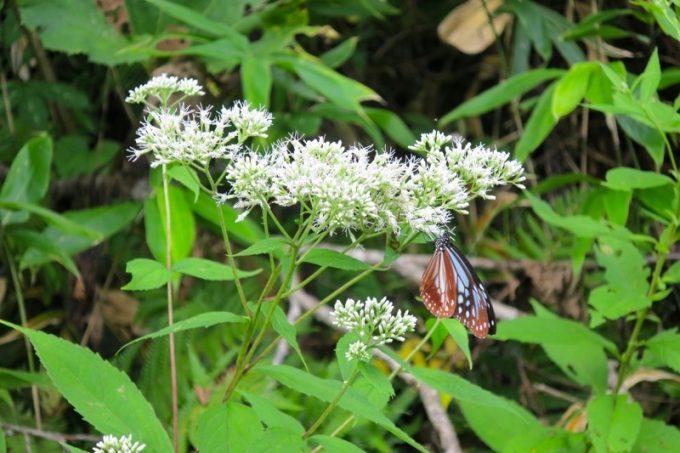 函館山のヒヨドリバナで羽を休めるアサギマダラ。この蝶は長距離を旅する。