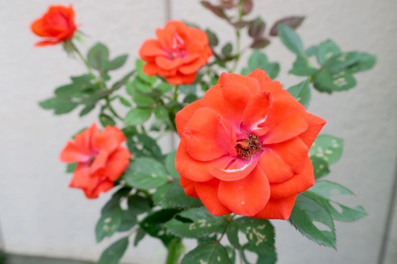 函館散策中に見かけた赤いバラ。