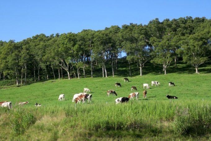城岱牧場では牛の放牧が行われている。