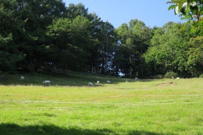 放牧されているヤギたち。