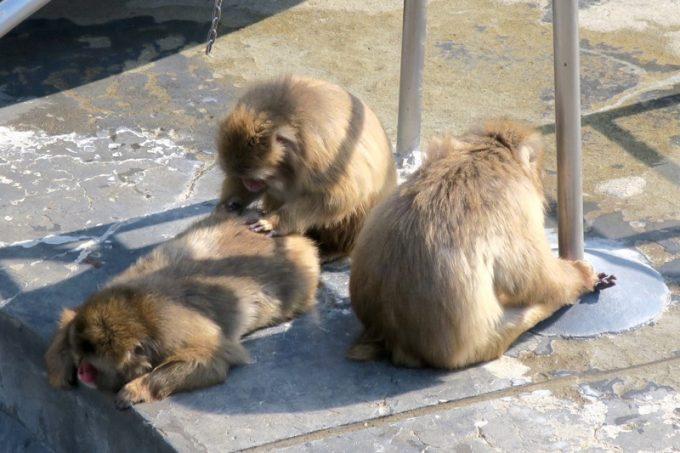 日向で毛づくろいをするお猿さん。