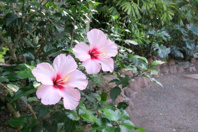 「函館市熱帯植物園」に咲くハイビスカス。