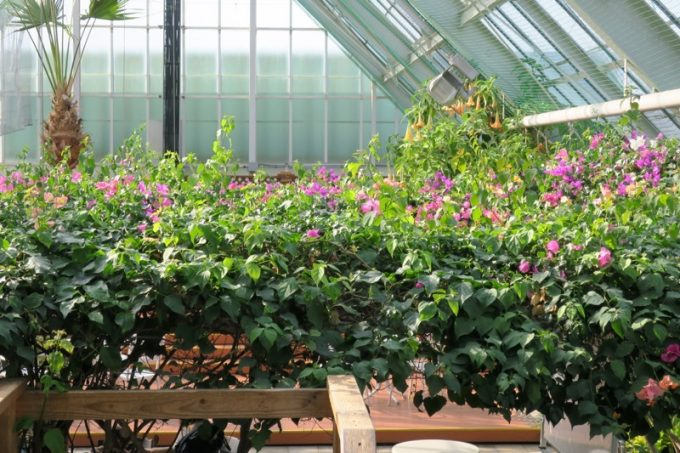「函館市熱帯植物園」にはブーゲンビリアの撮影スポットも。