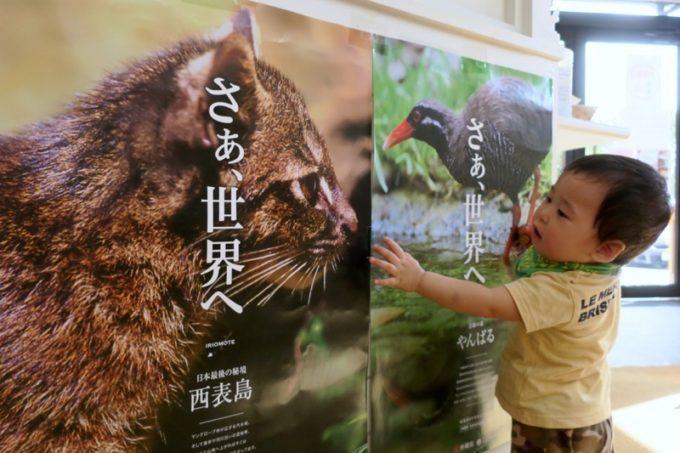 イリオモテヤマネコとヤンバルクイナのポスターがお気に入り。