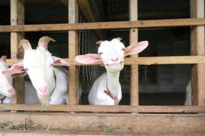 沖縄・今帰仁「あいあいファーム」で飼育されているヤギ。