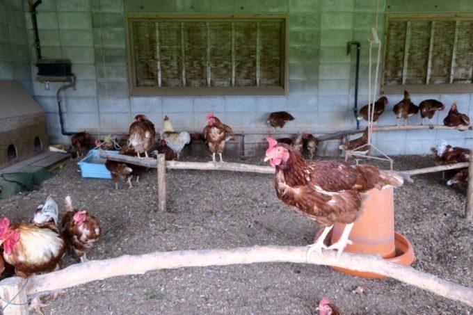 沖縄・今帰仁「あいあいファーム」で飼育されているニワトリ。