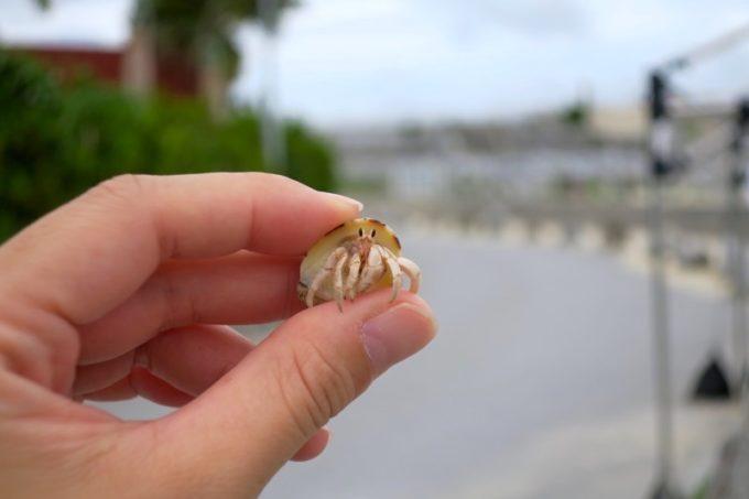 古宇利島のビーチで散歩していたヤドカリを捕獲。