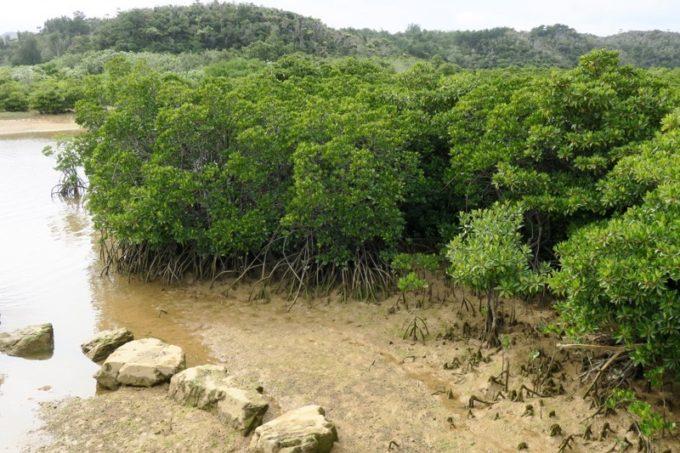 東村「慶佐次湾のヒルギ林」ヒルギ林内コースからマングローブ林を眺める。