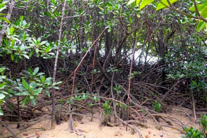 東村「慶佐次湾のヒルギ林」鬱蒼としたマングローブ林。