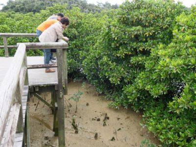 東村「慶佐次湾のヒルギ林」の観察デッキの下には干潟が広がる。