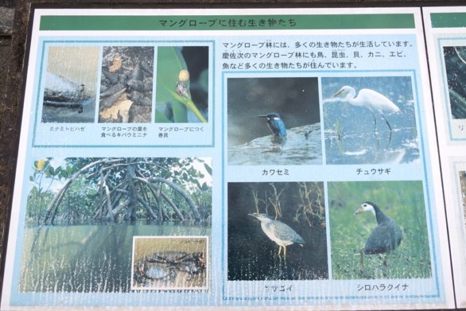 東村「慶佐次湾のヒルギ林」に生息する生き物たち(その2)