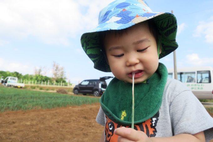 沖縄本島北部の離島・伊江島の島らっきょうは臭みや辛みがなく、こどもも食べやすい。