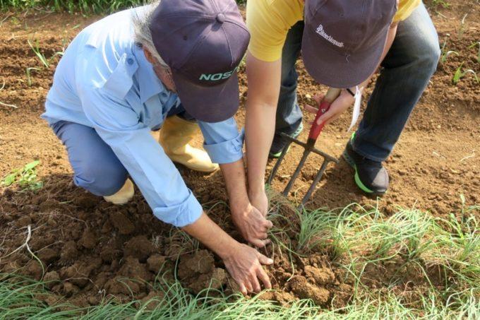 沖縄本島北部の離島・伊江島の島らっきょうを柔らかい土から掘り起こす作業のご主人サマー。
