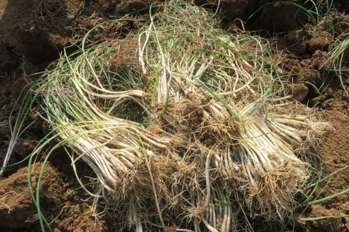 沖縄本島北部の離島・伊江島で島らっきょうを大量に掘り起こした。