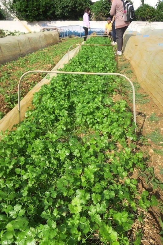 沖縄本島北部の離島・伊江島で農業体験(パクチー)。
