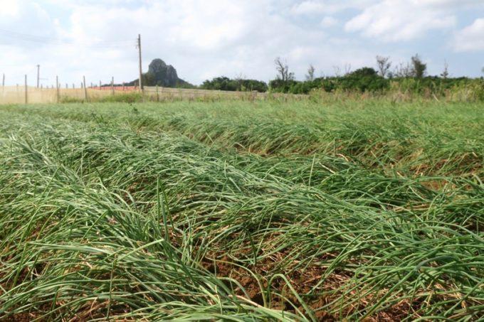 沖縄本島北部の離島・伊江島で農業体験(島らっきょう)。