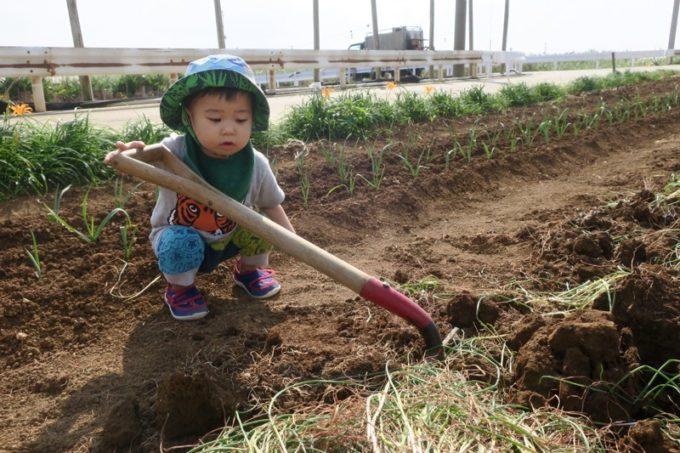 沖縄本島北部の離島・伊江島で農業体験でピッチフォークを使いこなそうと必死なお子サマー。