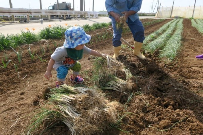 沖縄本島北部の離島・伊江島で農業体験で、島らっきょうを収穫したお子サマー。