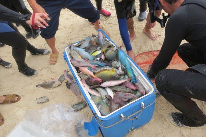 伊江島の追い込み漁体験で獲った魚をクーラーボックスへ入れる。