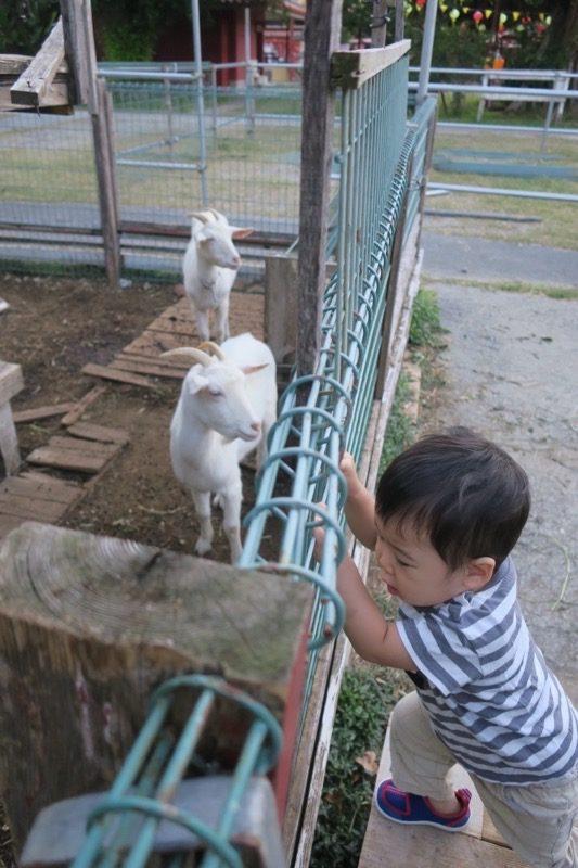 読谷「ホテルむら咲むら」のヤギに近づこうと策に近づくお子サマー。
