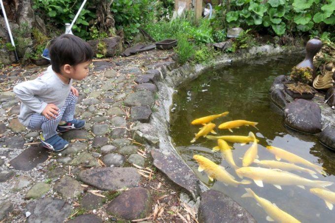 宮崎・都城「ふれあいの里 梅北本店」の庭先で泳ぐ黄金色の鯉。