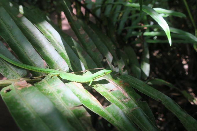 名護「DINO 恐竜 PARK やんばる亜熱帯の森」スポットライトをあびるカナヘビ。