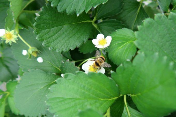 宜野座「ばむせファーム(Bamse Farm)」いちごの花の蜜を吸うミツバチがぶんぶん飛び回る。